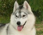 stafy - Husky (2 mois)