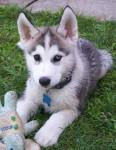 lylla - Husky (5 mois)