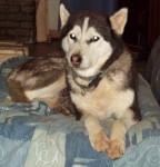 kolyma - Husky (8 mois)