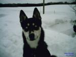 LYLI - Husky (2 mois)