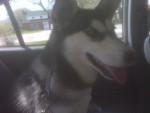 anouk - Husky (10 mois)