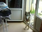 ludwig - Husky Mâle (1 an et 1 mois)