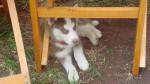 Sid - Husky Mâle (5 mois)