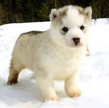 Exer - Husky Mâle (5 mois)