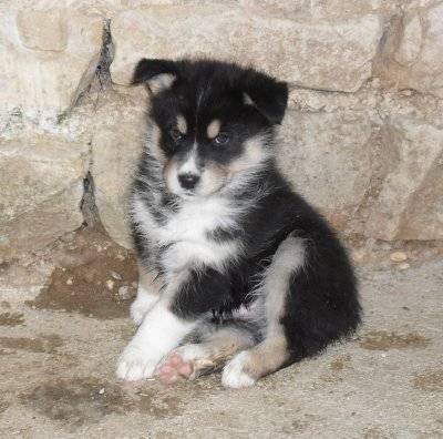Ellboy - Husky Mâle (3 mois)