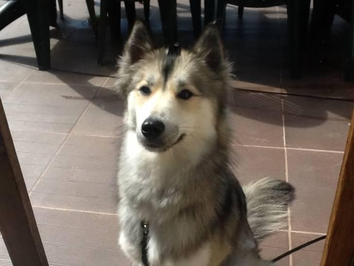 Haska - Husky (1 an)