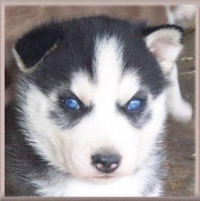 Ody - Husky Mâle (7 mois)
