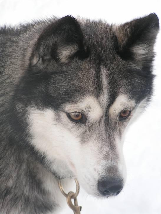 U'Ice - Husky (6 ans)
