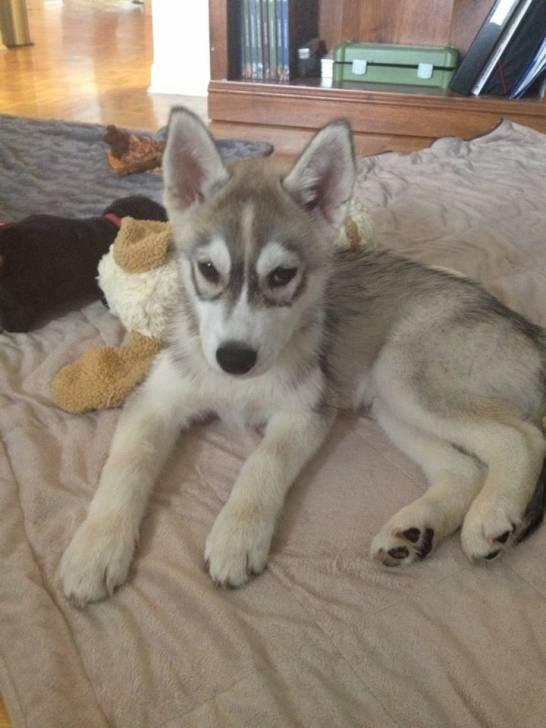 Endrix - Husky Mâle (3 mois)