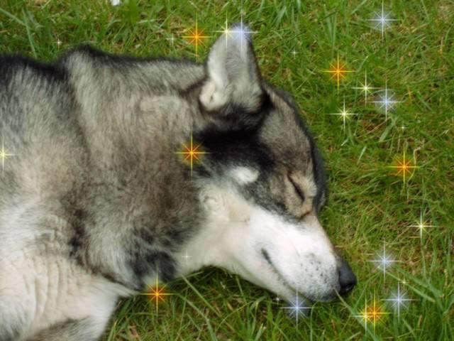 Nanouk - Husky Mâle (1 an)