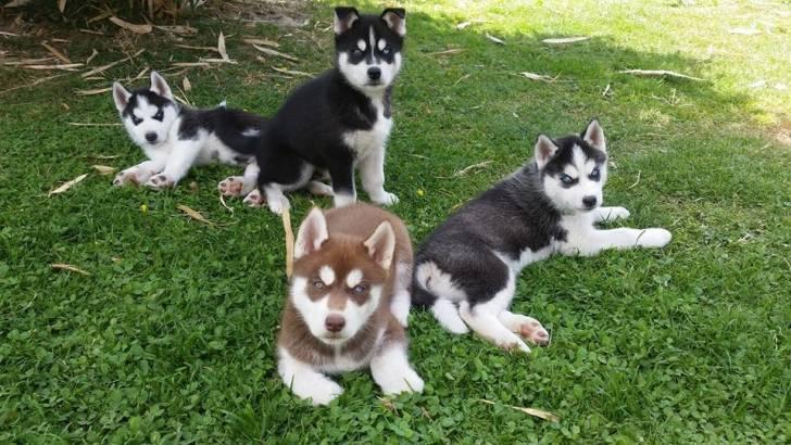 lary - Husky (9 mois)