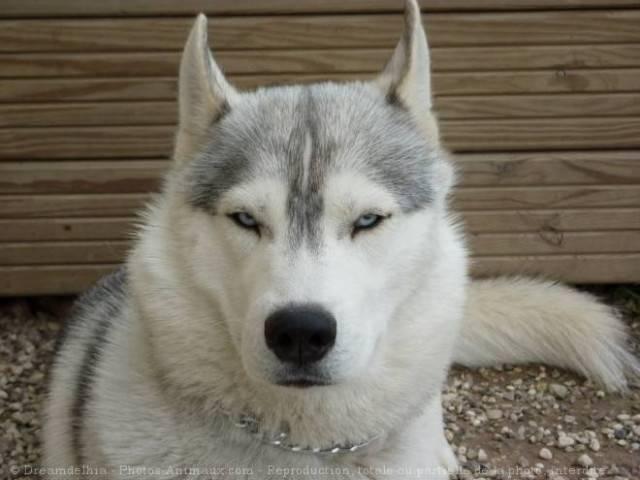 nusk - Husky Mâle (2 mois)