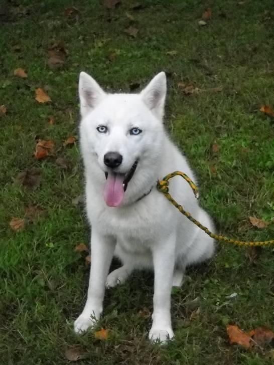 Ice - Husky (4 ans)