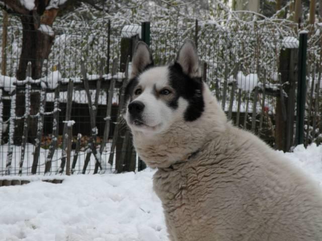 Eythan - Husky Mâle (12 ans)