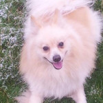 Chien fastoche - Spitz japonais Mâle (2 ans)