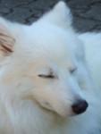 Chien Puschel - wie ein Polarfuchs - Spitz japonais Mâle (1 an)