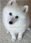 Chien Puschel - wie ein Polarfuchs - Spitz japonais Mâle (4 mois)