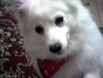 Chien Lacey - Spitz japonais Femelle (7 ans)