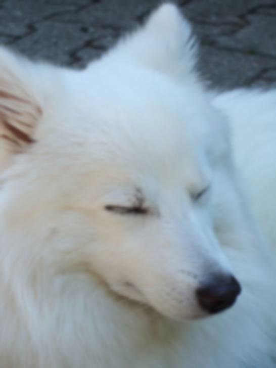 Puschel - wie ein Polarfuchs - Spitz japonais Mâle (1 an)