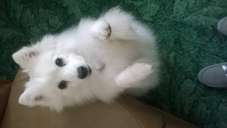 Lacey - Spitz japonais (7 ans)