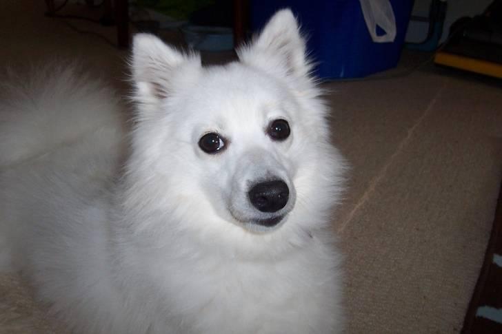 Lacey - Spitz japonais (4 ans)