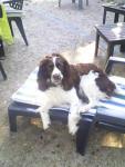hévéa - English Springer Spaniel (4 ans)