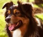 Lautaro - Terrier australien Mâle (10 ans)