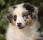 tizer - Terrier australien Mâle (2 mois)