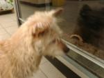 Cindy - Terrier australien (11 ans)