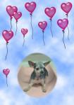 terrier australien Boule - Terrier australien