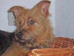 terrier australien gribouille - Terrier australien