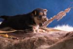 Photo Terrier australien