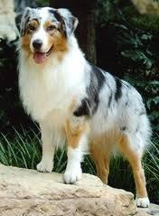 Lara - Terrier australien (4 ans)
