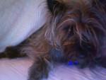 Hairy Potter - Terrier de Norwich Mâle (2 ans)
