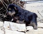 Baby Montty - Terrier de Norwich Mâle (3 ans)