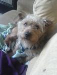benji - Terrier de Norwich Mâle (4 ans)