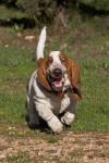 Snooky - Terrier de Norwich (9 mois)