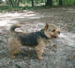 M. Willoughby du Pré de la Croix Verte - Terrier de Norwich Mâle (2 ans et demi)