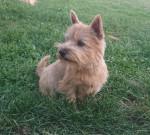 Stoppelhopser Xena - Terrier de Norwich Mâle (2 ans et 2 mois)