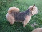 Naya Hilu du Pré de la Croix Verte - Terrier de Norwich Mâle (2 ans et 2 mois)
