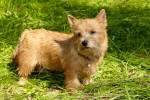 Photo Terrier de Norwich