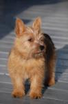 Mango - Terrier de Norwich Mâle (8 mois)