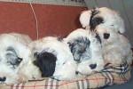 Sealyham Terrier - Terrier de Sealyham