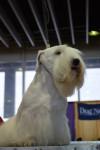 Photo Terrier de Sealyham
