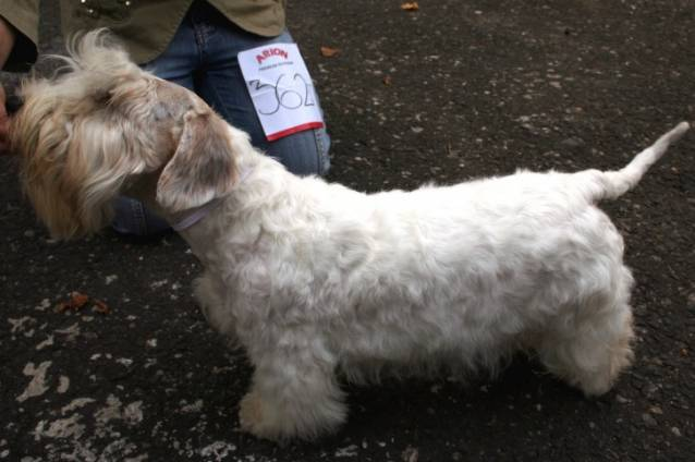 Photo Terrier de Sealyham