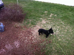 Scotty - Terrier Ecossais Mâle (5 ans)