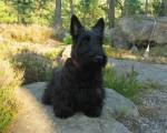 Guinness - Terrier Ecossais Mâle (18 ans)