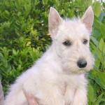 Scottish Terrier - Terrier Ecossais