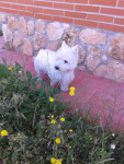Chien NIKO - Terrier Ecossais Mâle (3 ans)