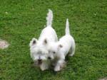 WEST HIGLAND WHITE TERRIER SCOTTIE ET CORK - Terrier Ecossais